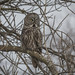 Chouette Lapone-Great Gray Owl (claudefortin.cf) Tags: chouettelapone