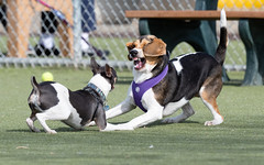 dogs_wrestling-20190323-100-3 (dagnyg) Tags: dogs beagle dogpark dogswrestling foxterrier prescottaz willowcreekdogpark