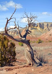I found I could say things with color and shapes that I couldn't say any other way - things I had no words for.  ~~Georgia O'Keeffe ` (Irene2727) Tags: junipertree tree landscape scape pano panorama georgiaokeeffe ghostranch new mexico coth5