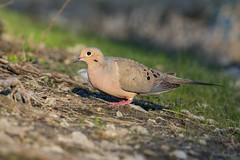 Mourning Dove (Jay Paredes) Tags: bird dove mourningdove zenaidamacroura coconutcreek browardcounty florida