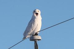 Big Pie Hole (mobull_98) Tags: bigpiehole snowy owl