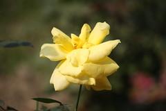 A Yellow Rose (arif.bsl14) Tags: flower flowers rose roseflower blooming bud bloom natural nature macro closup