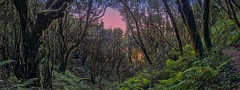 Good Morning Laurisilva (Widescreen Version) (Jörg Bergmann) Tags: 2019 83 8x3 camino islascanarias lumixg20f17 lagomera lorbeerwald panasonic20mmf17 panasonicdmcgf7 pancake parquenacionaldegarajonay rasodelabruma backlight canarias canaryislands early españa forest garajonay gf7 gomera green greenery hiking hiver invierno january laurisilva lumix lumix20mm m43 mft micro43 microfourthirds morning nationalpark nature panasonic panorama panoramic panorámica path senderismo sendero spain stitched sunrise travel trees vacation wallpaper wandern widescreen winter μ43