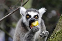 Ring tailed lemur (K.Verhulst) Tags: ringtailedlemur ringstaartmaki lemur maki blijdorp blijdorpzoo diergaardeblijdorp rotterdam natureinfocusgroup