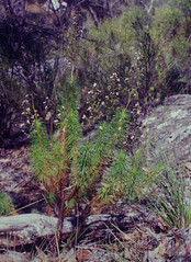 Stylidium laricifolium, Marlong Arch, Mt Moffat section of Carnarvon National Park, QLD, 07/10/01 (Russell Cumming) Tags: plant stylidium stylidiumlaricifolium stylidiaceae marlongarch mtmoffattsectioncarnarvonnationalpark carnarvonnationalpark springsure queensland