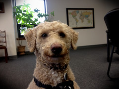 Harry, at work. 42 (4s) (Mega-Magpie) Tags: iphone 4s indoors dog pet puppy harry poodle office work cute guy dude buddy