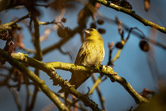 Siskin in the canopy (Rivertay07 - thanks for over 5 million views) Tags: greatawell siskin carduelisspinus rivertay richardstead copyrightprotected