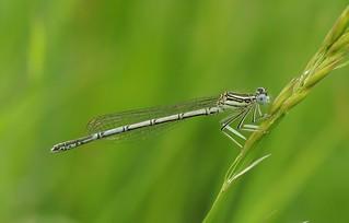White-legged Damselfly (Platycnemis pennipes) Male