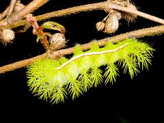 Automeris liberia (Eerika Schulz) Tags: automeris liberia schmetterlingsraupe schmetterling butterfly raupe caterpillar ecuador puyo eerika schulz calvario