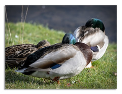 Studley Royal walk 1. (johnhjic) Tags: johnhjic stidleyroyal studley royal northyorkshire north yorkshire mallard duck sunbathing eye watch water grass green sunny sunlight february d850 nikon