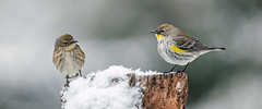 Yellow-rumped warbler (Tom Fenske Photography) Tags: bird warbler wildlife yellowrumpedwarbler winter snow setophagacoronata pair couple male female