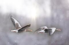 Fly Free... (KissThePixel) Tags: ornithology light beautiful snow wildlife nature birds flight march sky winter capture flyingbird flying birdwatching bird tamron150600mm 150600mm tamron nikond750 nikon