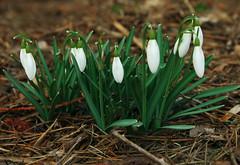 Galanthus nivalis // przebiśniegi (stempel*) Tags: polska poland polen polonia gambezia pentax k30 przebiśniegi flower kwiaty wiosna spring galanthus nivalis sade budy