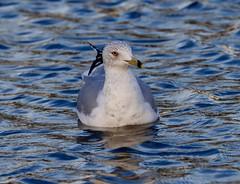 Frozen Birds (swanson.matt) Tags: bird birds seagul gull gulls duck ducks seagull people park washington dc outdoors animals humans water fountain geese city urban