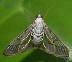 Squinty chook moth Glyphodes nyctealis Pyraustinae Crambidae Airlie Beach rainforest P1010983 (Steve & Alison1) Tags: squinty chook moth glyphodes nyctealis pyraustinae crambidae airlie beach rainforest