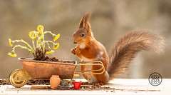Red squirrel standing behind a wheelbarrow with coltsfoot (Geert Weggen) Tags: squirrel camera red animal backgrounds bright cheerful close color concepts conservation culinary cute damage day earth environment environmental equipment love valentine flower photo bouquet wheelbarrow tussilagofarfara coltsfoot geert weggen hardeko bispgården ragunda sweden jämtland