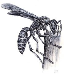 Wasp_02_2019adj (Marks Meadow) Tags: wasp insect flyinginsect entomology paperwasp penink drawing illustration insectillustration insectdrawing waspillustration
