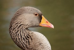 Greylag goose (PhotoLoonie) Tags: goose greylaggoose bird waterbird wildlife