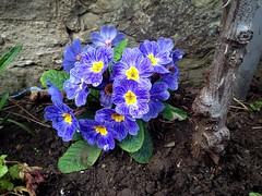Primrose (Anna Gelashvili) Tags: primrose примула цветы flowers garden ყვავილი ყვავილები цветочки сад plant soil почва растение leaf macro bright лист макрос яркий flower
