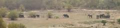 Savanna elephants, Mole National Park, Ghana (inyathi) Tags: westafrica ghana africanwildlife africananimals nationalparks molenationalpark savannaelephants elephants africanelephants loxodontaafricana panoramas panoramics molemotel africa