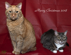 Merry Christmas to all (Jersey JJ) Tags: merry christmas xmas warm wishes kids portrait cat cats family home studio