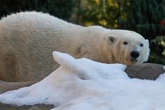 Polar Bear (Bob Worthington Photography) Tags: zoo122918 sandiegozoo canon7dmarkii canon70200f28lisii