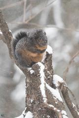 ''Côté givré!''Ecureuil-Squirrel (pascaleforest) Tags: animal passion nikon nature wild wildlife faune québec mammifère canada winter hiver neige snow