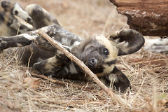 African Wild Dog - Kruger National Park (BenSMontgomery) Tags: african wild dog kruger national park painted wolf dynasties hunting safari sanpark south africa wildlife
