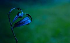 feuille morte (Chocolatine photos) Tags: nikon nature naturebynikon vert bleu bokeh photo photographesamateursdumonde pdc makemesmile minimaliste macrounlimited macro flickr fleur l