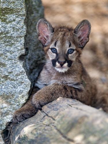 Puma cub posing well