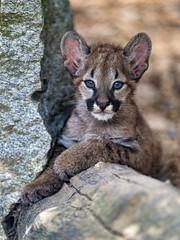 Puma cub posing well (Tambako the Jaguar) Tags: puma cougar mountainlion big wild cat cub young baby cute posing portrait face stone rock plättli zoo frauenfeld switzerland nikon d5