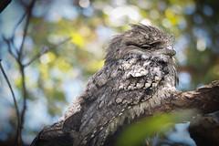 Checking Me Out (trisharooni) Tags: tawnyfrogmouth bird australianbird