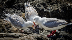 Breaaaaad (Stefan Marks) Tags: animal bird bread feeding food gull juvenile nature outdoor redbilledgull rock omaha northisland newzealand