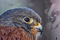 Lesser Kestrel, Addo, South Africa (SuzieAndJim) Tags: southafrica addo africa suzieandjim nature bird raptor hawk kestrel lesserkestrel