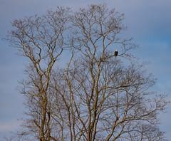 The Sentinel (jmfuscophotos) Tags: baldeagle wildlife nature bird birds pennsylvania lackawaxen raptor birdofprey eagle