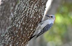 Philomena (Red-bellied woodpecker) DSC_6913 (blthornburgh) Tags: woodpecker redbelliedwoodpecker nature tree backyard outdoors
