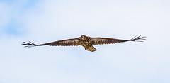 Immature Wingspan (John Kocijanski) Tags: immaturebaldeagle baldeagle eagle bird birdofprey animal wildlife nature canon7d canon400mmf56