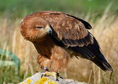 """Frodo"", Tawny Eagle, Hawk Conservancy Trust, Andover, Hampshire, UK (rmk2112rmk) Tags: tawnyeagle hawkconservancytrust andover eagle bird birdofprey raptor animal dof aquila rapax"
