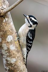 Downy Woodpecker (female) DSC_8121-Edit (blindhogmike) Tags: bird woodpecker swamp nature wildlife pivert oiseau vogel specht south carolina sc lowcountry black white tree