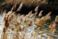 Dreamy (ArtGordon1) Tags: davegordon davidgordon daveartgordon davidagordon daveagordon artgordon1 london england uk february 2019 winter queenelizabetholympicpark reeds