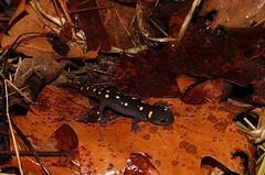 Small Spotted Salamander, Bucks County, PA, February 2019 (sstaedtler) Tags: salamander amphibian spotted wildlife outside nature herping pennsylvania buckscounty