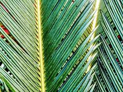 Palm Leaves (pmorris73) Tags: arboretum pennstateuniversity statecollege pennsylvania century 2cb2619 3cb2619 4cb2619 5cb2619 6cb2619 7cb2619 8cb2619 9cb2619 1kb2719 15cc0319