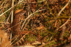 Basking In The February Sunshine (Derbyshire Harrier) Tags: commonlizard easternmoors bigmoor nationaltrust rspb britishnativereptile moorland 2019 february winter peakdistrict peakpark derbyshire zootocavivipara basking