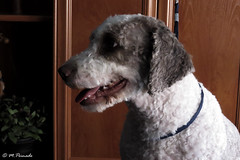 013713 - Letizia (M.Peinado) Tags: perro perra animal animales dog dogs mascota letizia perrodeagua pdae 2019 febrerode2019 09022019 canonpowershotsx60hs canon ccby