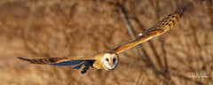 Barn Owl Flying Low (dcstep) Tags: dsc6455dxo owl barnowl flying bif birdinflight flight wings beak feathers brown tan cherrycreekstatepark colorado usa greenwoodvillage allrightsreserved copyright2019davidcstephens dxophotolab221