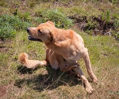 IMG_8378 (jaglazier) Tags: 121318 2018 chile december easterisland grass plants ranokau animals copyright2018jamesaglazier dogs mammals valparaisoregion