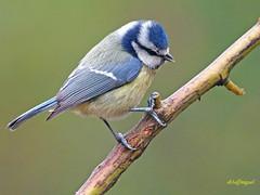 Herrerillo común (Cyanistes caeruleus)  (4) (eb3alfmiguel) Tags: pájaros insectívoros passeriformes paridae herrerillo común cyanistes caeruleus