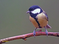 Carbonero común (Parus major) (5) (eb3alfmiguel) Tags: pájaros passeriformes insectívoros paridae carbonero común parus major