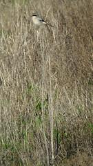Loggerhead Shrike (stonebird) Tags: loggerheadshrike laniusludovicianus february img7935 ballonawetlandsecologicalreserve areab
