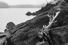 Driftwood (Joe_R) Tags: iso400 pentaxk1000 bw kodaktrix400 film trix lake driftwood rocks contrast